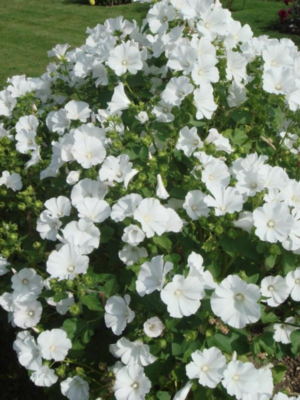 цветы лаватера на фото