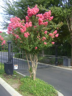 Small Of Red Crape Myrtle