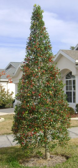 Small Of East Palatka Holly