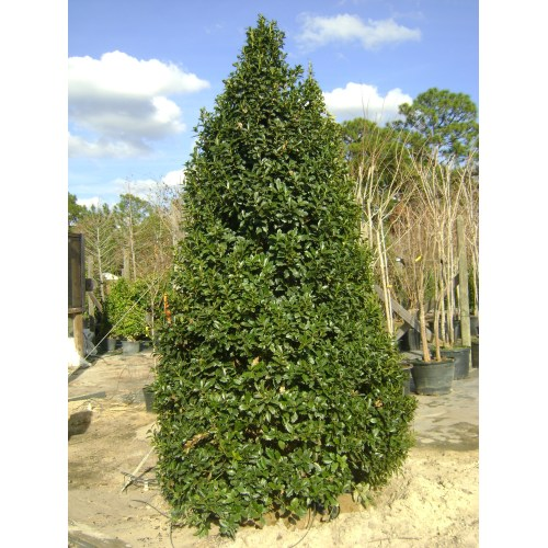 Medium Crop Of East Palatka Holly