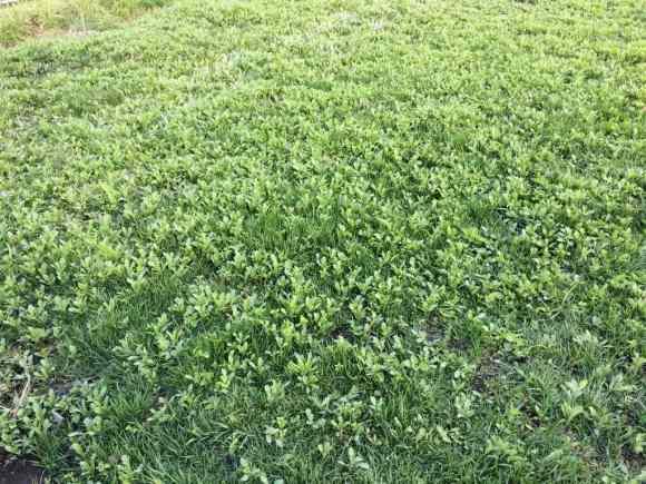 雑草だらけの芝生