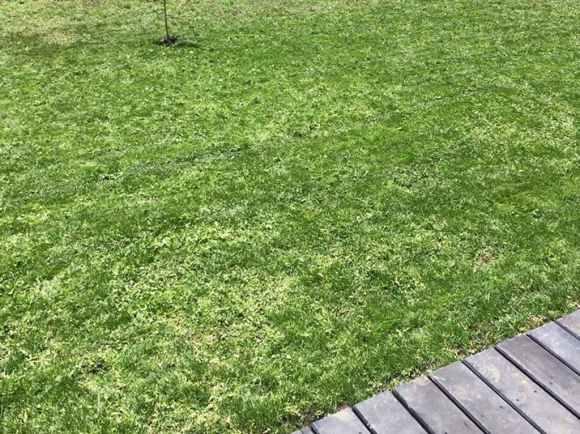 だいぶ芝生っぽくなってきました