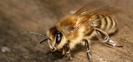 """""""ほぼ養蜂家""""が教える驚くべきミツバチの生態。心が痛いオス蜂の性(さが)"""