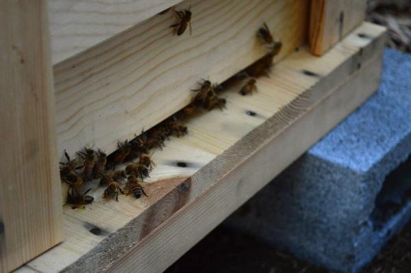 養蜂、ミツバチの解放