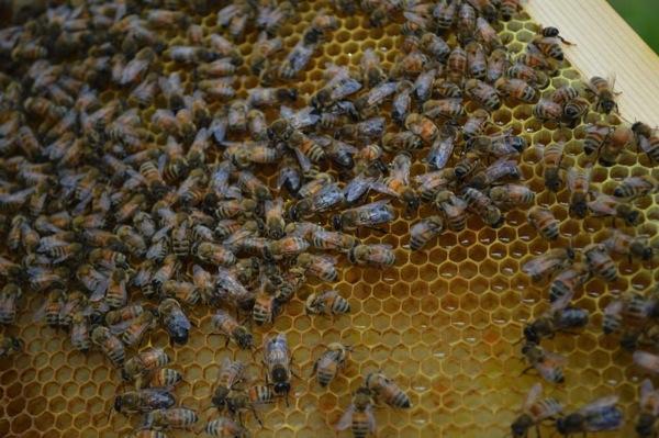 西洋ミツバチでの養蜂