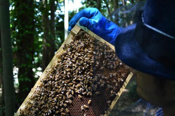 ミツバチを観察している様子