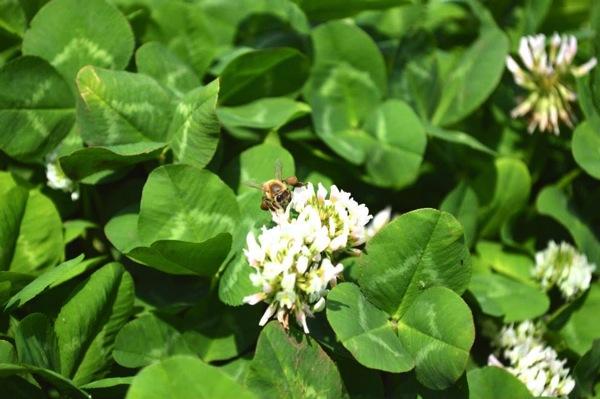 足にたっぷり花粉をつけた蜜蜂