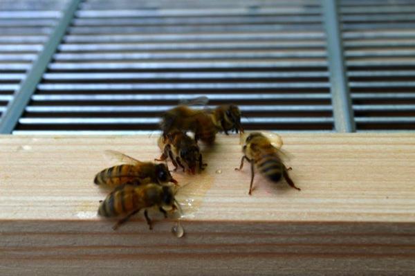 こぼれた蜜を必死に吸うミツバチ