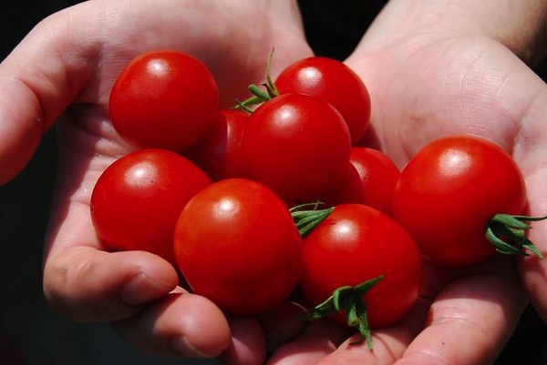 harvesting-tomatoes