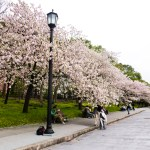 Wanderlust Wednesday – Cherry Blossoms in Tokyo, Japan