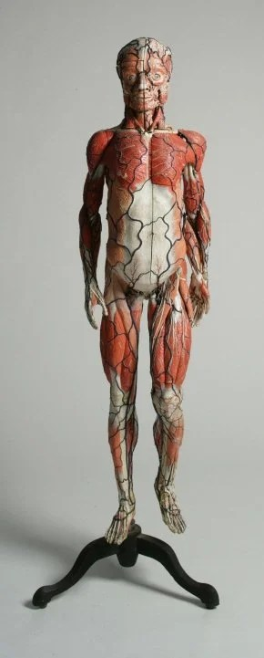 225: A Life-Size Intricately-Detailed Anatomical Model,