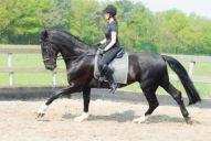 Gelders paard