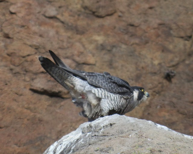 peregrine,  Falcon terminology: To slice