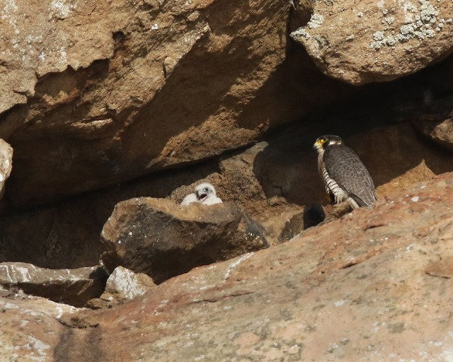 peregrine falcon chick, Morro Rock, Morro Bay, California
