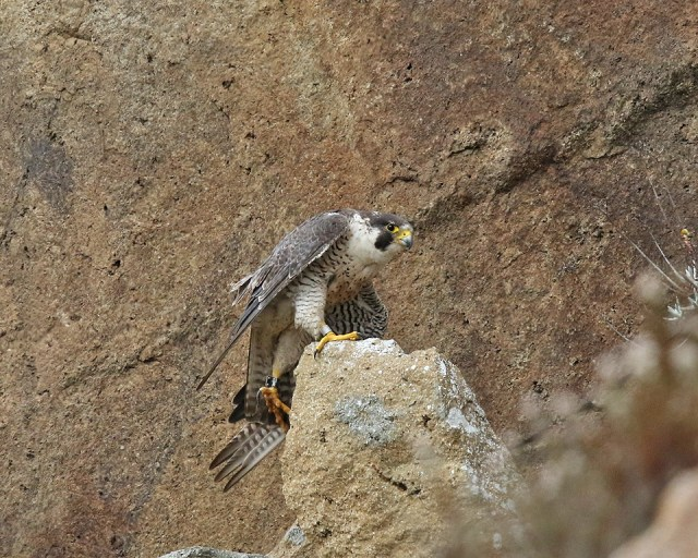 Peregrine falcon on north side of Morro Rock