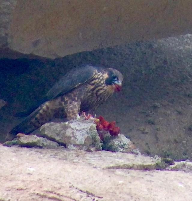 juvenile eating prey  Photo by Bob Isenberg
