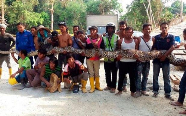 Cobra píton encontrada na Malásia pesa 250 quilos e mede oito metros de comprimento