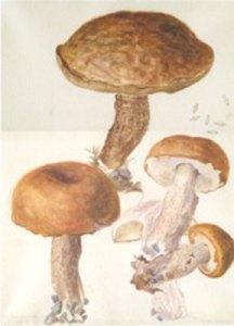 beatrix-potter-fungi2