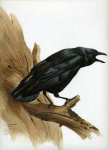 Common Crow watercolour on paper by J. Fenwick Lansdowne (1937-2008)