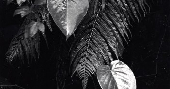 Plants and Leaves, Hawaii, c. 1985.  Gelatin silver print 34.9 x 26.8 cm by Brett Weston (1911 -1993)