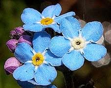 flor-nomeolvides