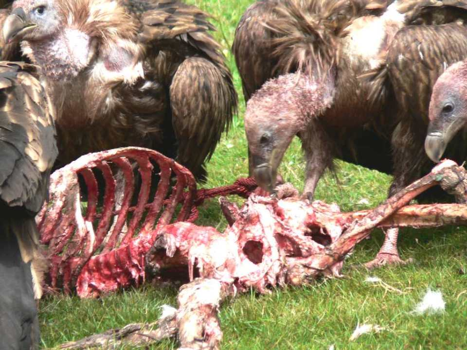 Vultures_Eating_Human_Corpse_Lawyers_Costs_Brighton_Magistrates_Court_Natural_England
