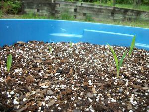 garden0506-corncloseup