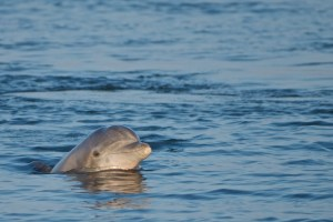 Atlantic Bottlenose Dolphin