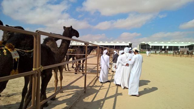 φεστιβάλ καμήλας (5)