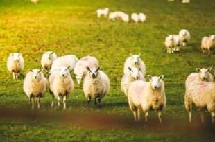 Des moutons défoncés au cannabis menacent un village gallois