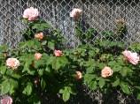 Rosacée