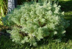 Small Of Silver Mound Artemisia