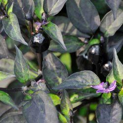 Small Of Ornamental Pepper Plant
