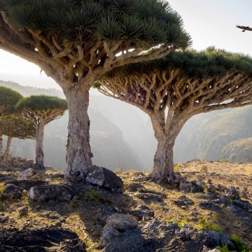 prlr_dragon-trees-socotra-yemen