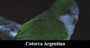 cotorra argentina