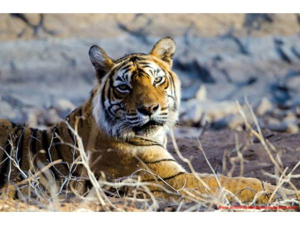 Bengal Tiger, Ranthambhore National Park, Rajasthan