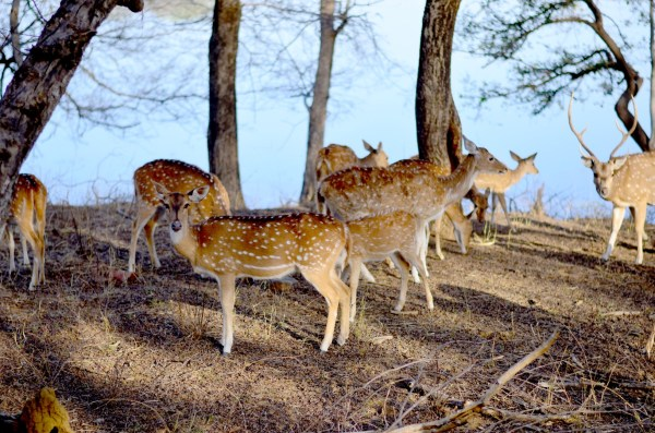 Another shot of another docile animal in ranthambore
