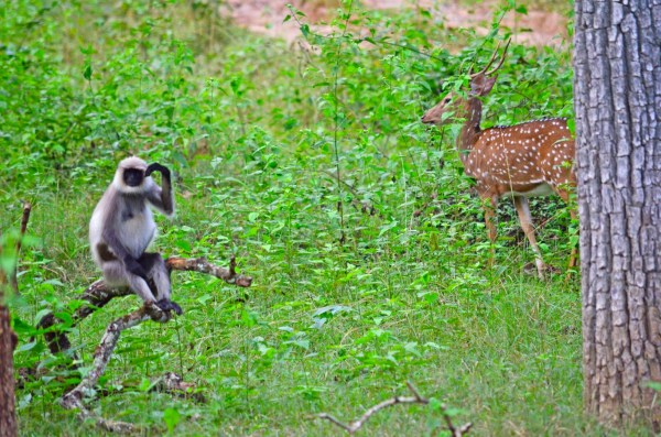 Bandipur and Kabini - The strange relationship between a Langur and a Chital