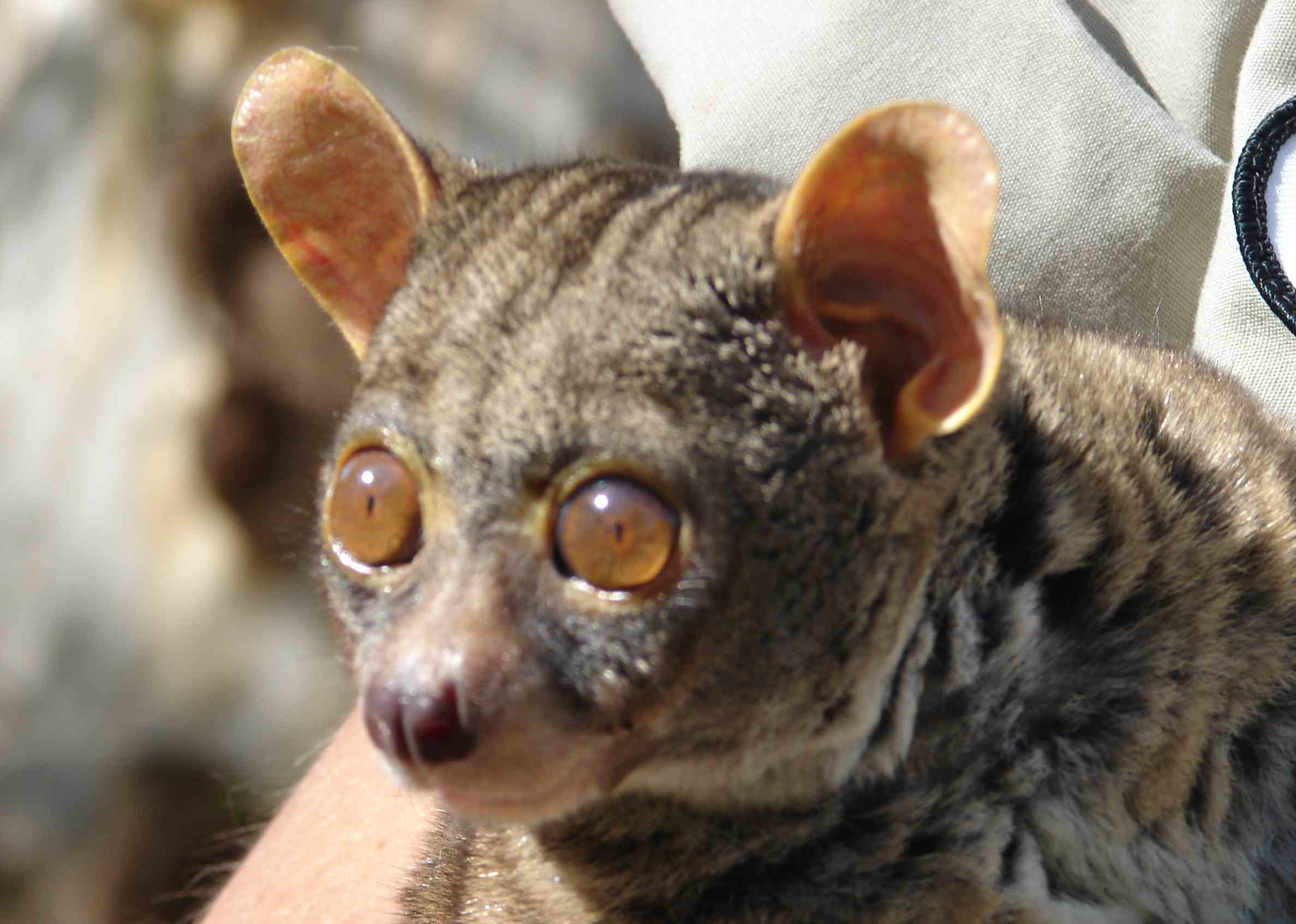 BUSH BABY: The Cries of a Creature Claimed By Some To Be ...