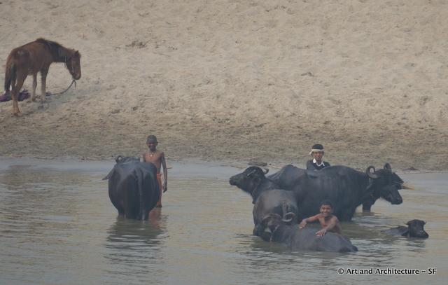 washing waterbuffalo in the Ganges