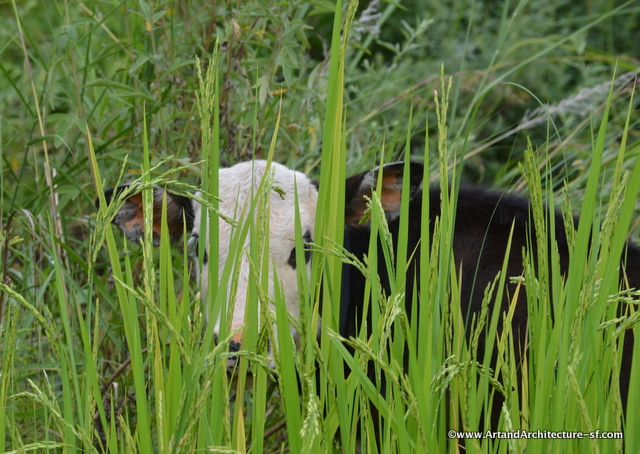 Cows in the rice fields