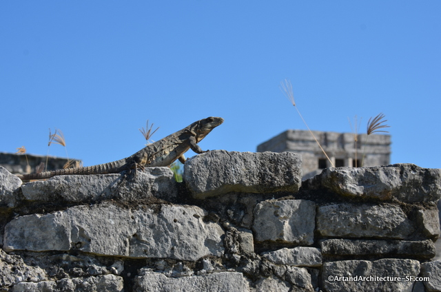 The Tulum ruins are swarming with Iguanas
