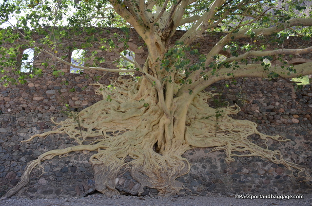 The roots of the Tescalama Tree