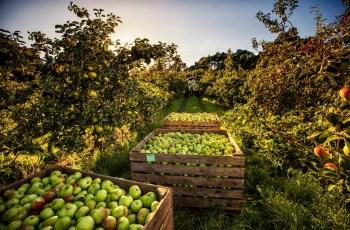 Armagh Bramley Apples