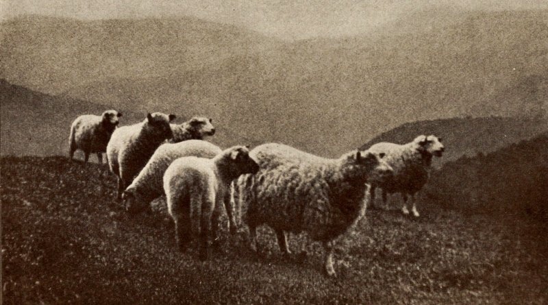 Sheep in the Berkshires