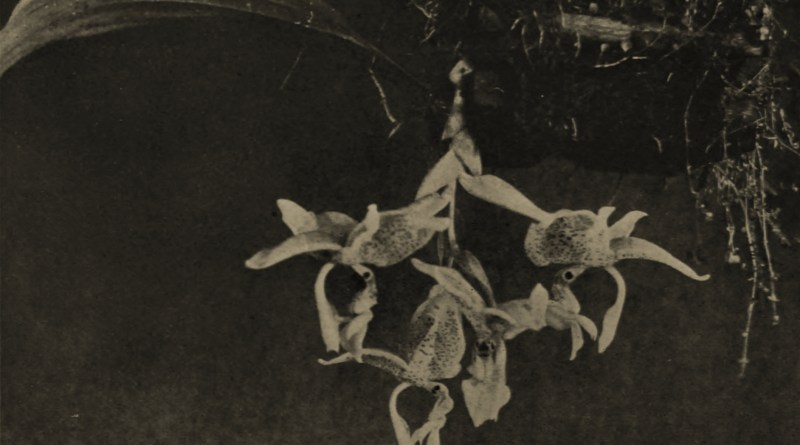 Stanhopea (Orchid) in Madeira by W. J. Farthing 1901