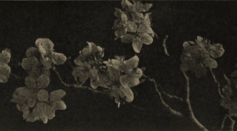 Apple Blossoms by K. Theodor Krantz about 1908