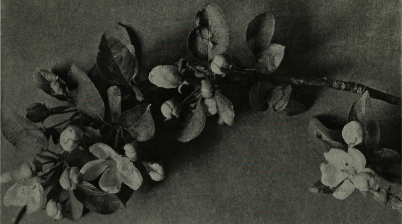Apple blossoms by W. E. Bertling about 1908