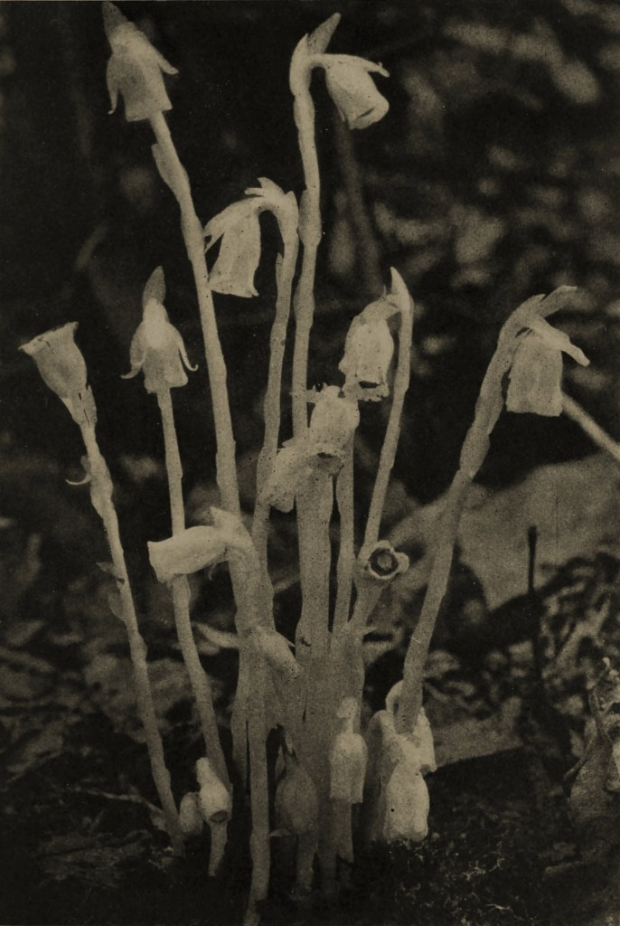 Indian Pipes by Margaret Bodine and Nina Lewis about 1908