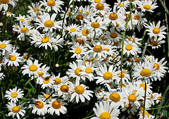 fieldofdaisies7.jpg